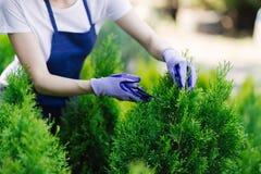 De vrouw gebruikt het tuinieren hulpmiddel om haag, scherpe struiken met tuinscharen in orde te maken royalty-vrije stock fotografie