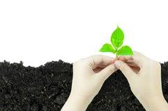 De vrouw houdt jonge plantspruit die in een stuk van grond groeit Stock Foto's
