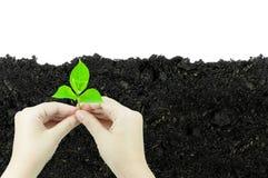 De vrouw houdt jonge plantspruit die in een stuk van grond groeit, op een witte achtergrond wordt geïsoleerd die Stock Fotografie
