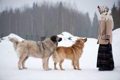 De vrouw leidt Kaukasische Herder en yardhond op een sneeuwgrond in het park op stock foto