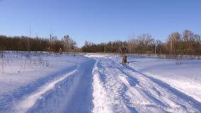 De vrouw loopt met een hond die witte sneeuwbanken doorneemt Langzame Motie stock video