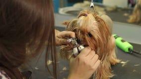 De vrouw maakt de klauwen van Yorkshire Terrier in een veterinaire kliniek in orde, close-up stock videobeelden