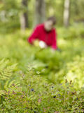 De vrouw neemt bosbessen op Stock Afbeeldingen