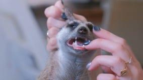 De vrouw onderzoekt meerkat de tanden van ` s, houdend het in haar handen stock footage
