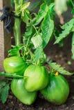 De vrouw oogst een gewas van tomaten Zeer grote tomaten Zeer smakelijke vitaminen Stock Fotografie
