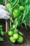 De vrouw oogst een gewas van tomaten Zeer grote tomaten Zeer smakelijke vitaminen Royalty-vrije Stock Fotografie