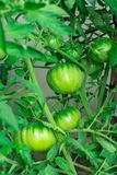 De vrouw oogst een gewas van tomaten Zeer grote tomaten Zeer smakelijke vitaminen Stock Foto's