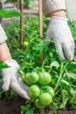 De vrouw oogst een gewas van tomaten Zeer grote tomaten Zeer smakelijke vitaminen Royalty-vrije Stock Afbeelding