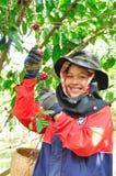 De vrouw oogst koffiebessen Stock Afbeeldingen