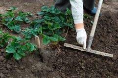 De vrouw plant aardbeieninstallaties in haar tuin Stock Foto's