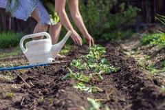 De vrouw plant de aardbeien Stock Foto