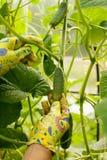 De vrouw plukt een jonge komkommer in de serre Stock Afbeeldingen