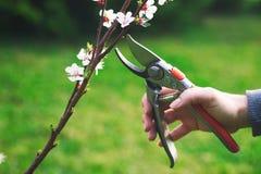 De vrouw sneed een bloeiende tak van abrikozenboom met het snoeien van schaar royalty-vrije stock foto's