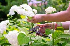 De vrouw sneed een boeket van bloemen witte hydrangea hortensia's royalty-vrije stock foto