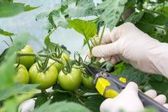De vrouw snoeit tomatenplanttakken in de serre Stock Afbeelding