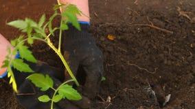 De vrouw in tomatenzaailingen is geplant bloembed stock videobeelden