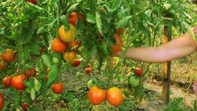 De vrouw toont gekweekte trots tomaten stock video