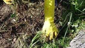 De vrouw verwijdert onkruid uit de tuin, omhoog sluit stock video