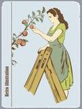 De vrouw verzamelt appelen Stock Foto's