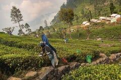De vrouw verzamelt thee bij theeaanplanting Stock Foto's
