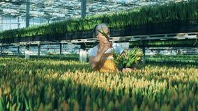 De vrouw verzamelt tulpen van bloembed in een emmer, die in een serre werken stock videobeelden
