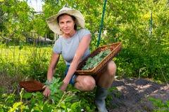 De vrouw verzamelt verse groene munt gebruikend schaar en dienblad in tuin Royalty-vrije Stock Afbeelding