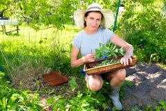 De vrouw verzamelt verse groene munt gebruikend schaar en dienblad in tuin Royalty-vrije Stock Foto