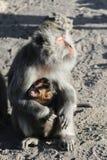 De vrouwelijke aap houdt haar babyaap in de wapens en verwarmt haar gezicht bij ochtendzon royalty-vrije stock afbeelding