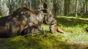 de vrouwelijke Amerikaanse elanden likken overal haar kalf stock videobeelden