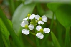 De vrouwelijke bloem van de bulltonguepijlpunt, Sagittaria SP stock afbeeldingen