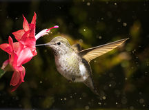 De vrouwelijke bloem van kolibriebezoeken in sneeuwonweer Royalty-vrije Stock Afbeeldingen