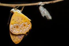 De vrouwelijke gemeenschappelijke luipaardvlinder kwam uit cocon te voorschijn Royalty-vrije Stock Afbeelding