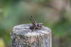 De vrouwelijke groene sprinkhanenherfst op de stomp Stock Foto's