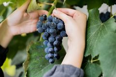 De vrouwelijke hand houdt de druiven Close-up met groene bladeren op de achtergrond Druiven die voor wijn voorbereidingen treffen stock fotografie