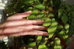 De vrouwelijke hand raakt de zonovergoten bladeren van houseplant een Cissus Rhombifolia met dalingen van water royalty-vrije stock afbeeldingen