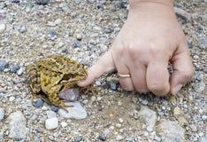 De vrouwelijke hand streelt een kikker. Stock Foto