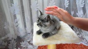 De vrouwelijke hand strijkt een grijs katje van Brits ras stock videobeelden