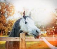 De vrouwelijke hand voedt een paard een traktatie bij de achtergrond van de de herfstaard Royalty-vrije Stock Afbeeldingen