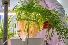 De vrouwelijke handen heffen een net met jonge groene tarwespruiten van op een watercontainer in een wetenschappelijk botanisch l royalty-vrije stock afbeelding