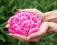 De vrouwelijke handen houden een pioen royalty-vrije stock afbeeldingen