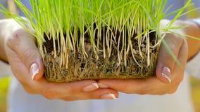De vrouwelijke handen houden handvol van grond met groen gras stand Concept groei, zorg die, duurzaamheid, de aarde de beschermen stock videobeelden