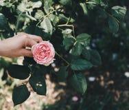 De vrouwelijke handholding nam - roze bloemen over een boomwortel - hoopconcept toe Royalty-vrije Stock Foto