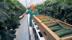De vrouwelijke komkommers van tuinmanoogsten in een serre, sluiten omhoog stock video