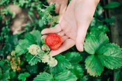 De vrouwelijke landbouwer houdt de rode rijpe aardbei in overhandigt stock afbeelding