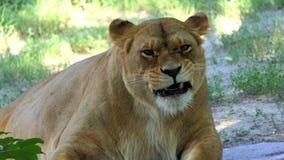 De vrouwelijke Leeuw likt Zijn Krop op een Grappige Manier in een Dierentuin op Sunny Day stock video