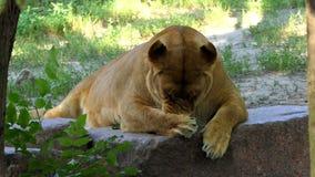 De vrouwelijke Leeuw likt Zijn Poot op een Grappige Manier in een Dierentuin op Sunny Day stock videobeelden