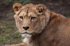 De vrouwelijke leeuwin van Barbarije Stock Fotografie