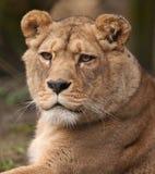 De vrouwelijke leeuwin van Barbarije Royalty-vrije Stock Afbeelding