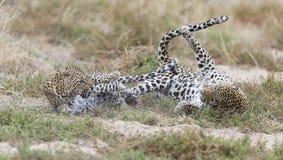 De vrouwelijke luipaard mept mannetje terwijl het koppelen op gras in aard Stock Fotografie