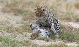 De vrouwelijke luipaard mept mannetje terwijl het koppelen op gras in aard Stock Foto's